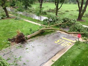Uprooted Tree - Rita
